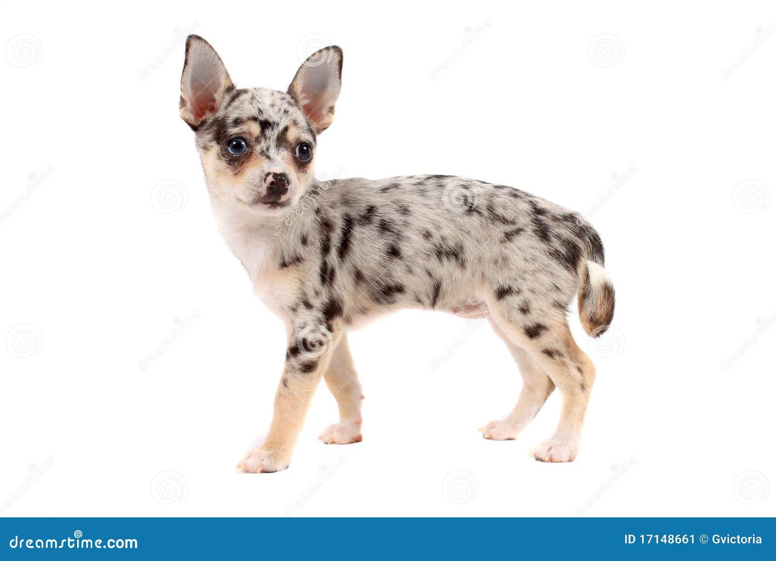 Уход за глазами собак породы чихуахуа, особенности гигиены шлаз, аллергия, болезни глаз