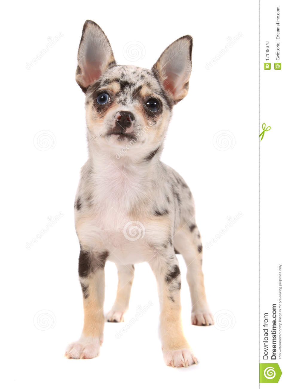 spotted chihuahua cute spotted chihuahua stock photo image of canine pets 4633