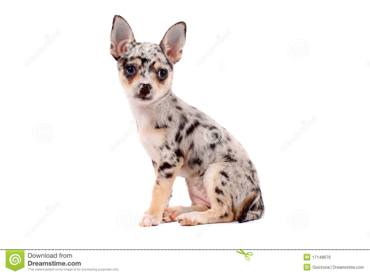spotted chihuahua cute spotted chihuahua royalty free stock image image 5619