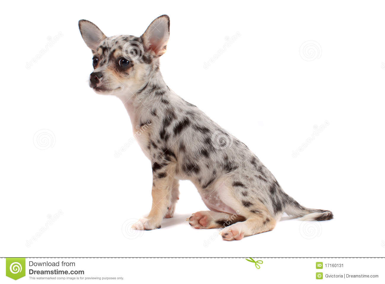 spotted chihuahua cute spotted chihuahua stock image image 17160131 6401
