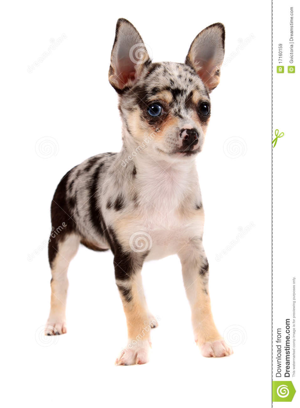 spotted chihuahua cute spotted chihuahua royalty free stock images image 8928