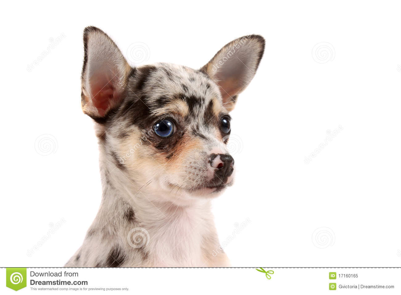 spotted chihuahua cute spotted chihuahua royalty free stock photo image 3390