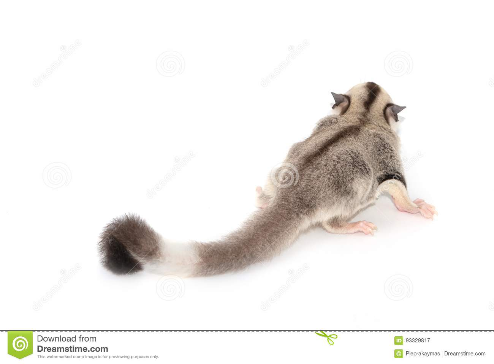 Cute sugar glider. Petaurus breviceps,