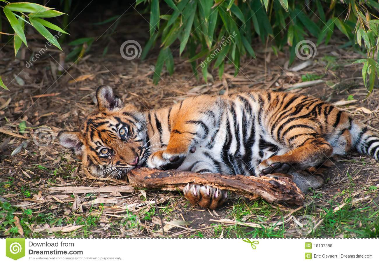 Cute Sumatran Tiger Cub Playing Royalty Free Stock Photos ...