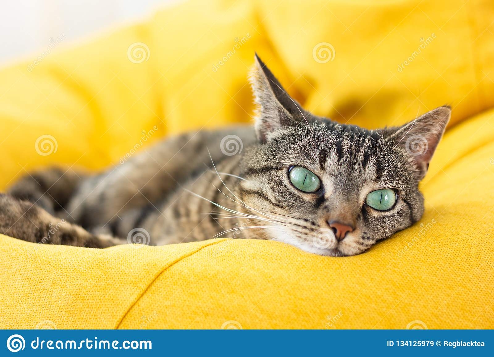 Cute tabby cat with green eyes lies on yellow bean bag.