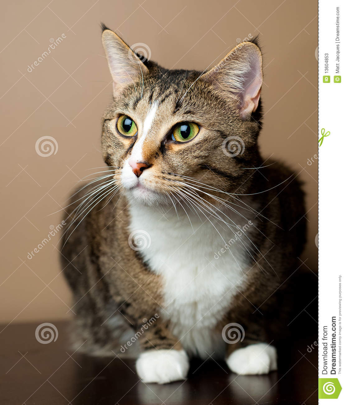 Cute Tabby Cat Sitting And Alert. Stock Image - Image of ... Tabby Cat Sitting Up