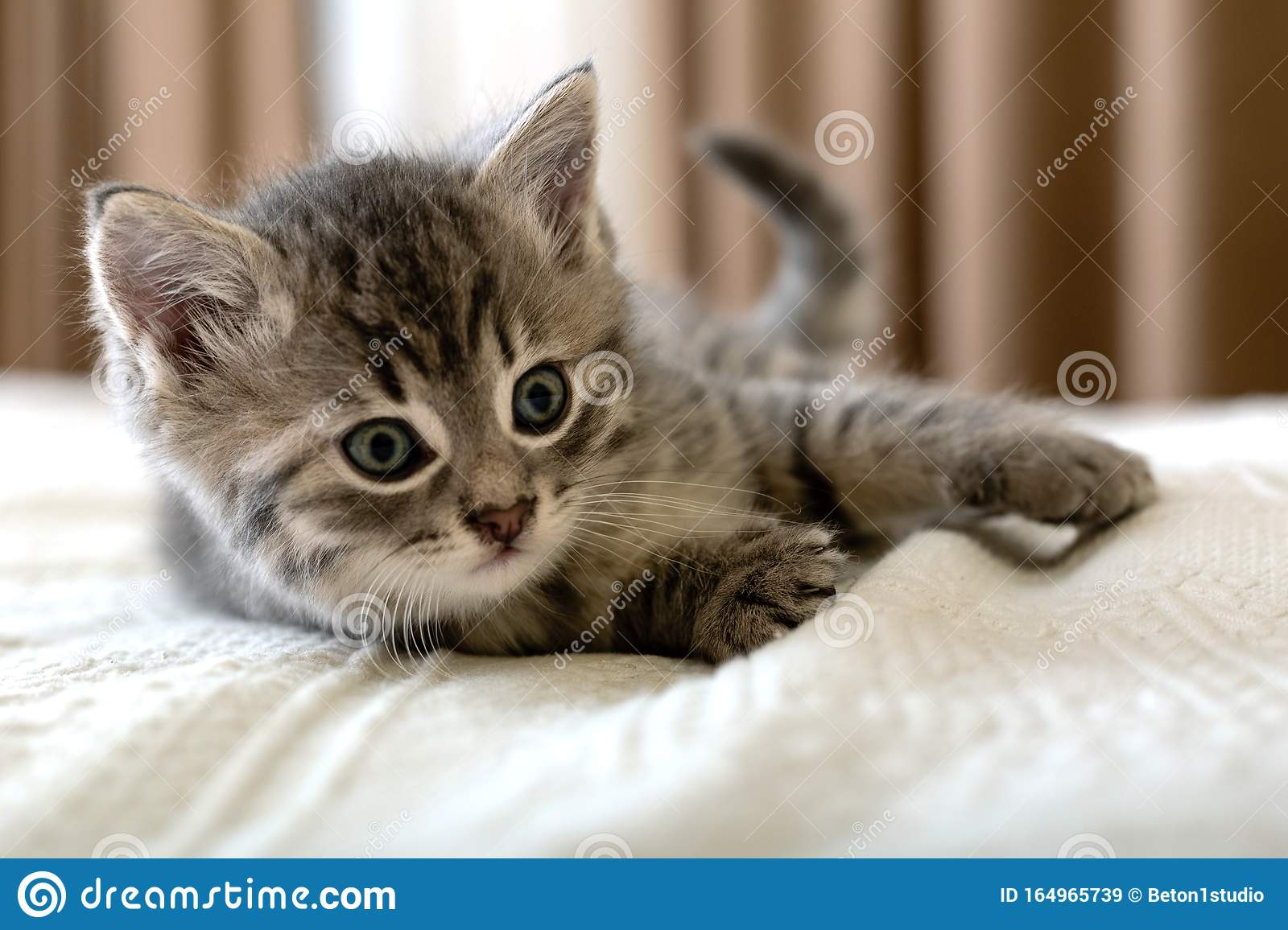 Cute Tabby Kitten Lies On White Plaid At Home Newborn Kitten Baby Cat Kid Animal And Cat Concept Domestic Animal Home Pet Stock Image Image Of Beautiful Grey 164965739