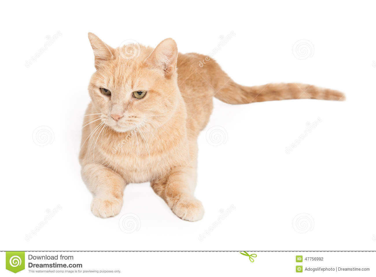 Tan And White Striped Cat