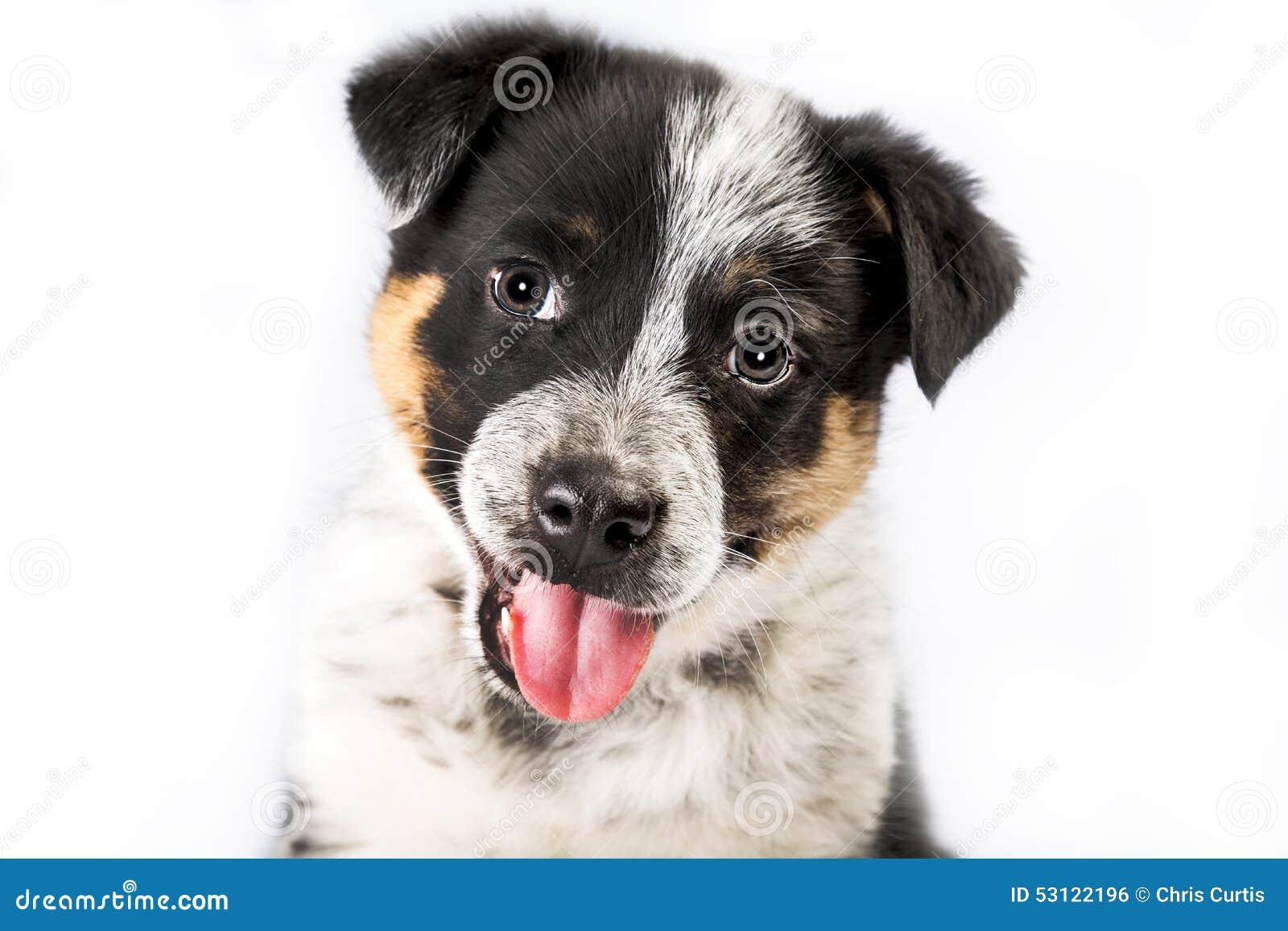 Purebred Dog Rescue Texas