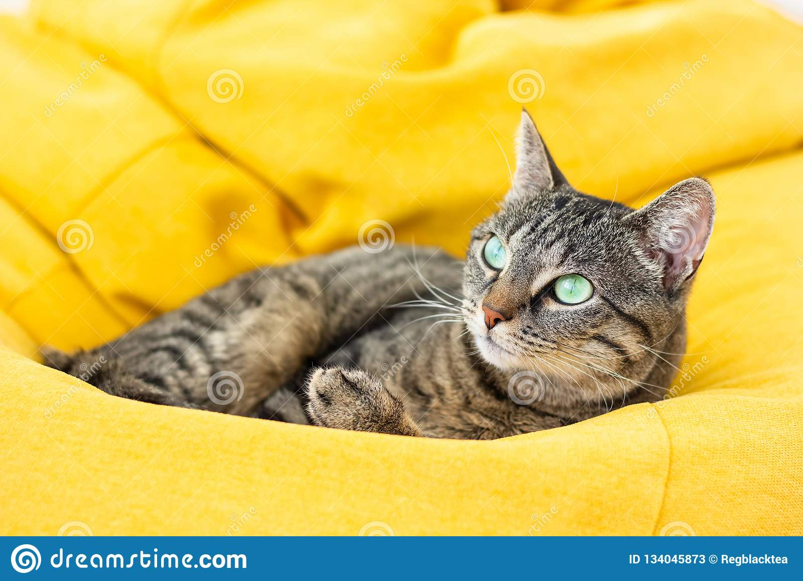 Cute tiger cat lying on bright yellow bean bag.