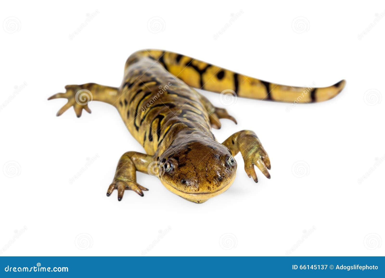 salamander white background - photo #36