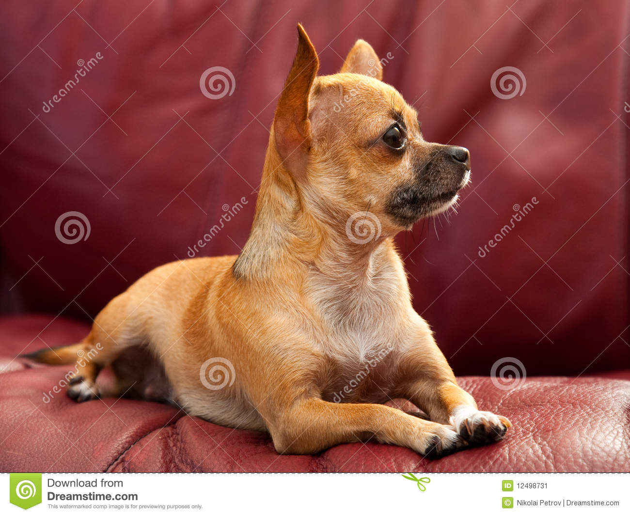 Cute Tiny Chihuahua Dog On A Red Couch Stock Image Image