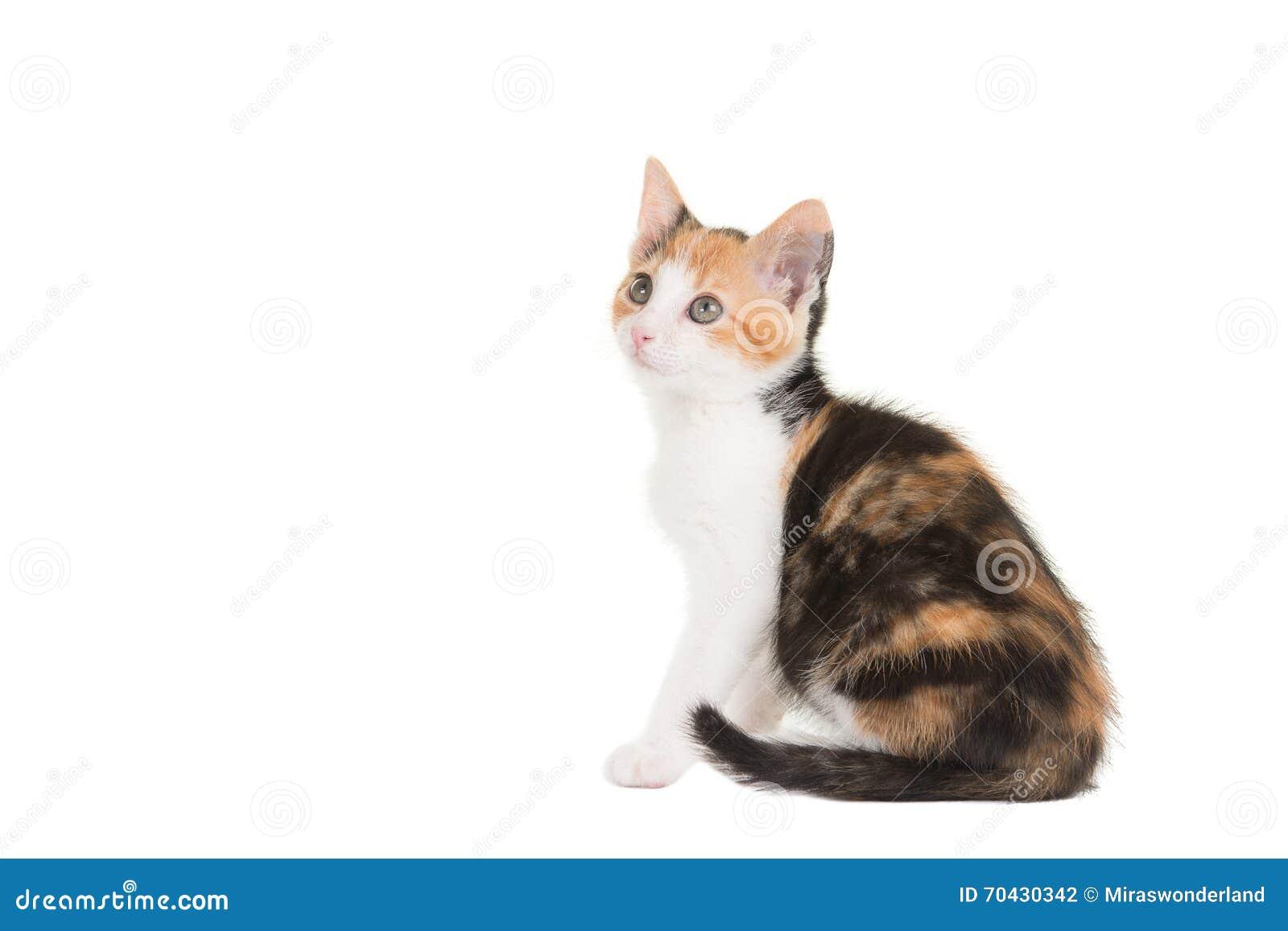 Cute tortoiseshell sitting cat looking up
