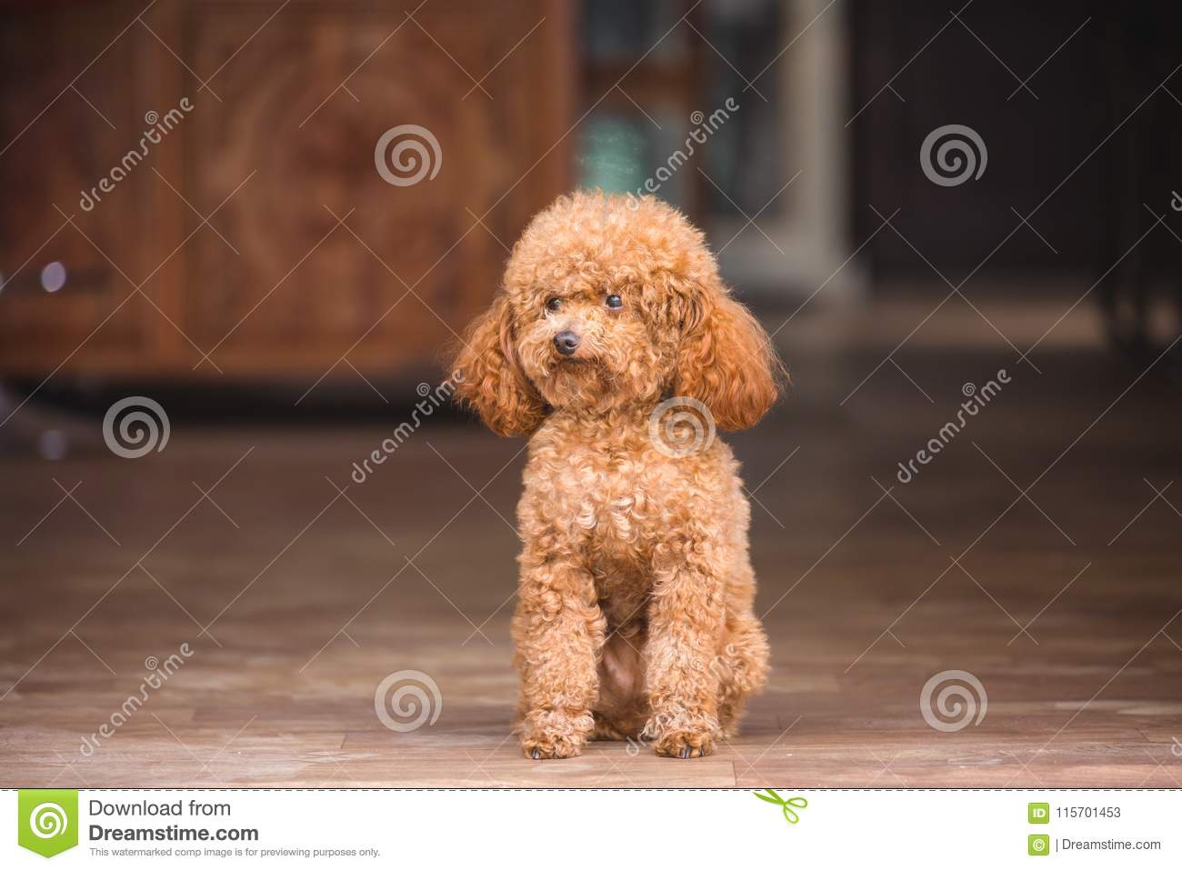 Cute toy poodle standing inside house