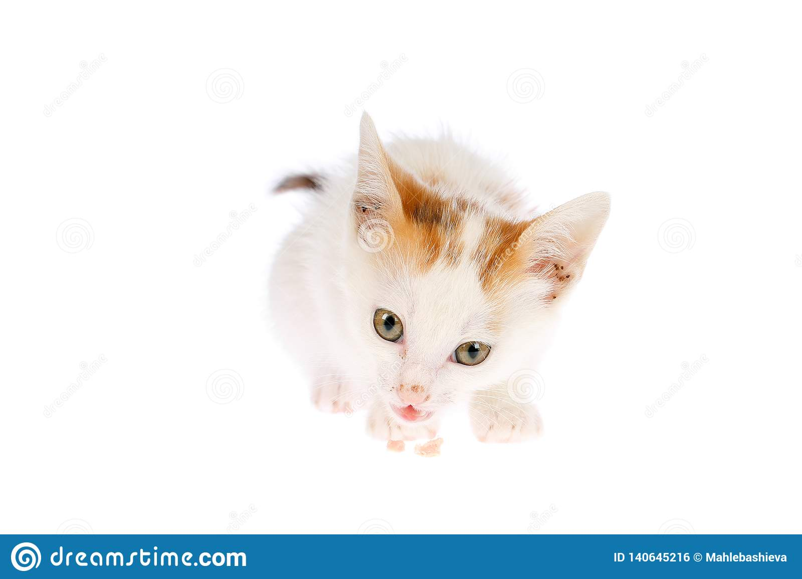 Cute two months old calico kitten eating meat bit and looking to the camera, isolated on white background. Homemade and raw food cats diet concept.
