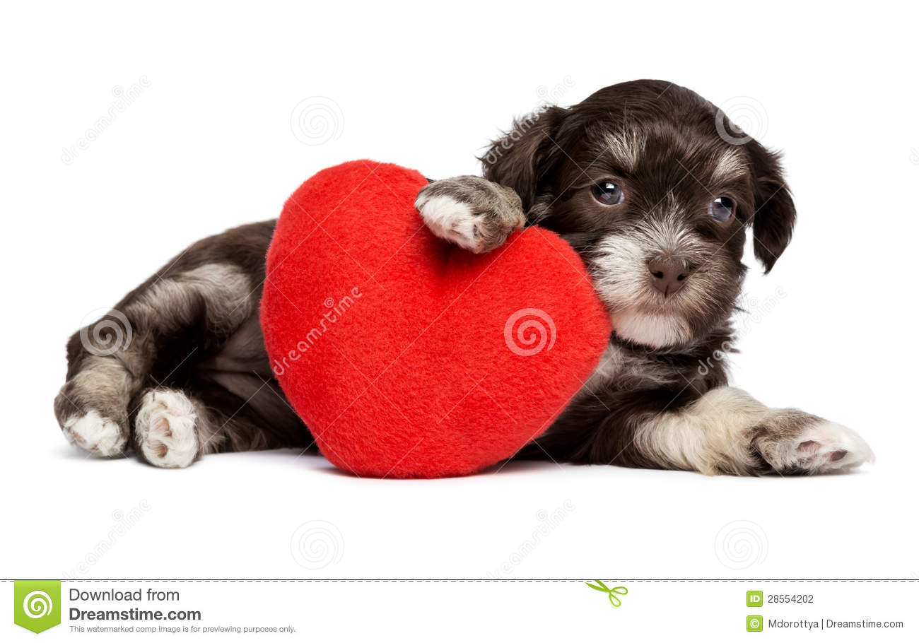 Cute Valentine Havanese Puppy Dog With A Red Heart Stock Photo 28554202    Megapixl