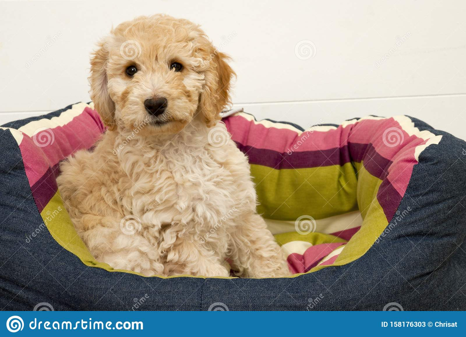 A cute Cockapoo puppy on a white background