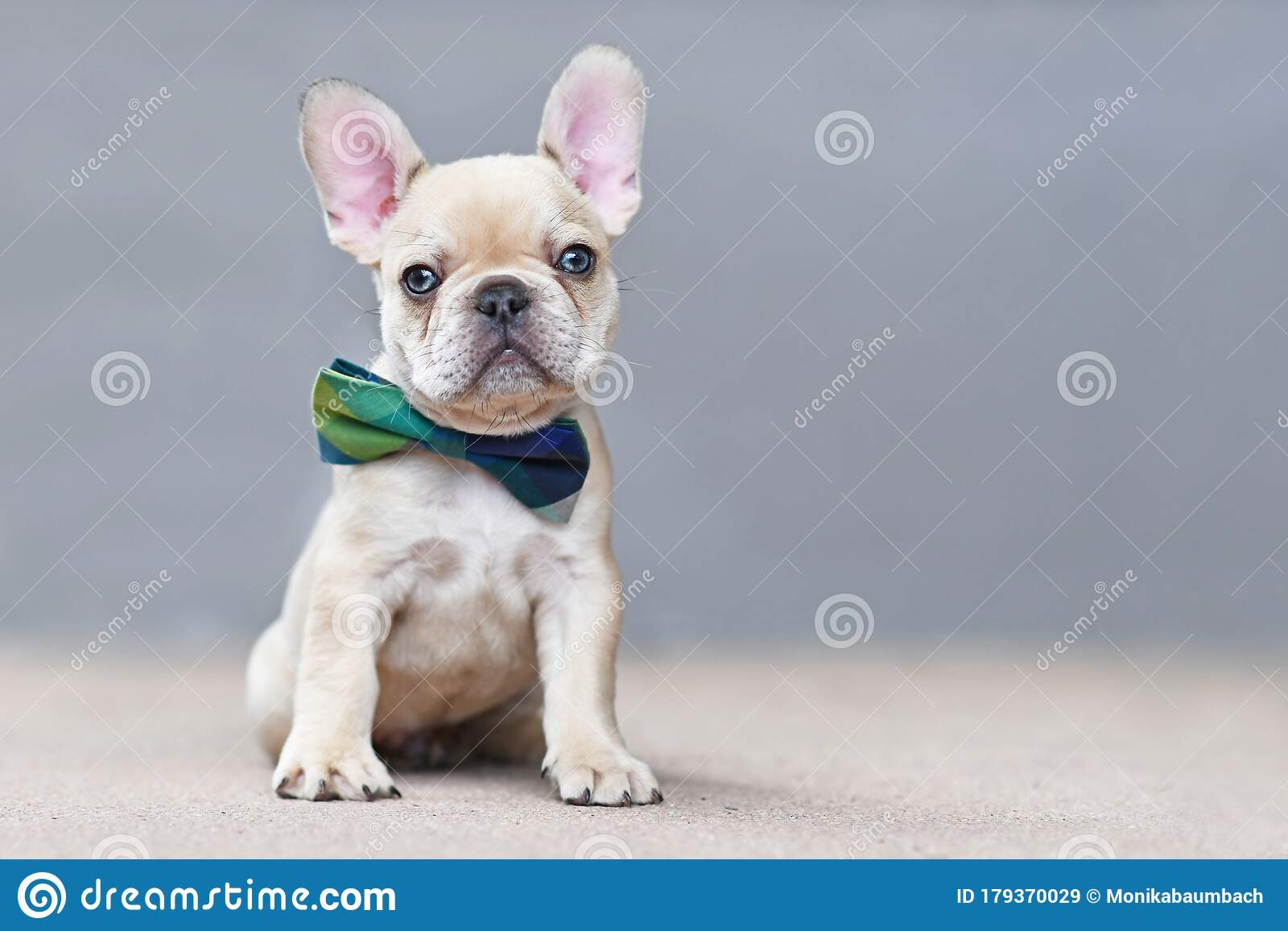 Cute 7 Weeks Old Lilac Fawn Colored French Bulldog Dog Puppy Wearing A Bow Tie Sitting In Front Of Gray Wall Stock Image Image Of Little Bowtie 179370029