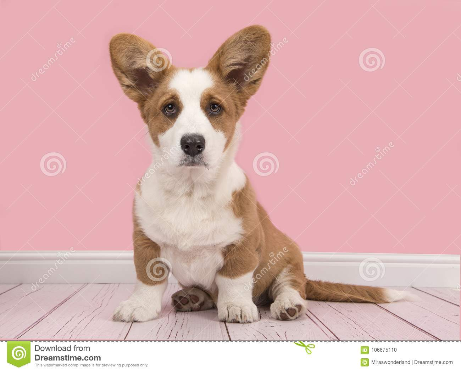 Cute welsh pembroke corgi puppy in a pink living room