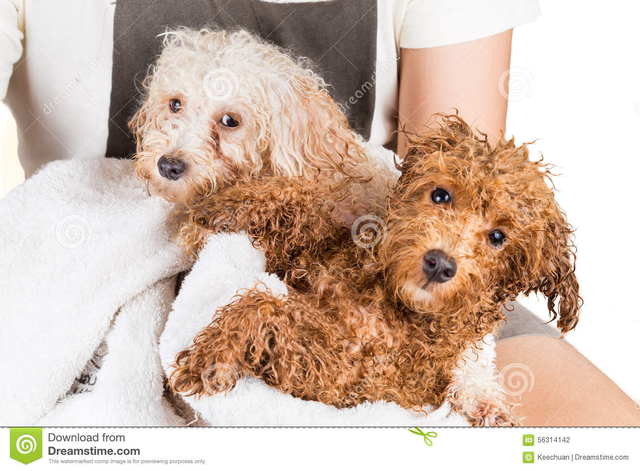 Cute Wet Poodle Puppies Wrapped In Towel After Shower Stock Photo