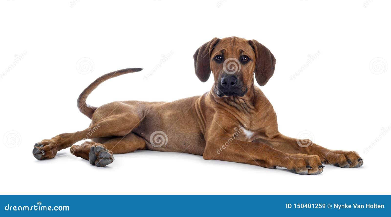 Sweet Rhodesian Ridgeback puppy on white