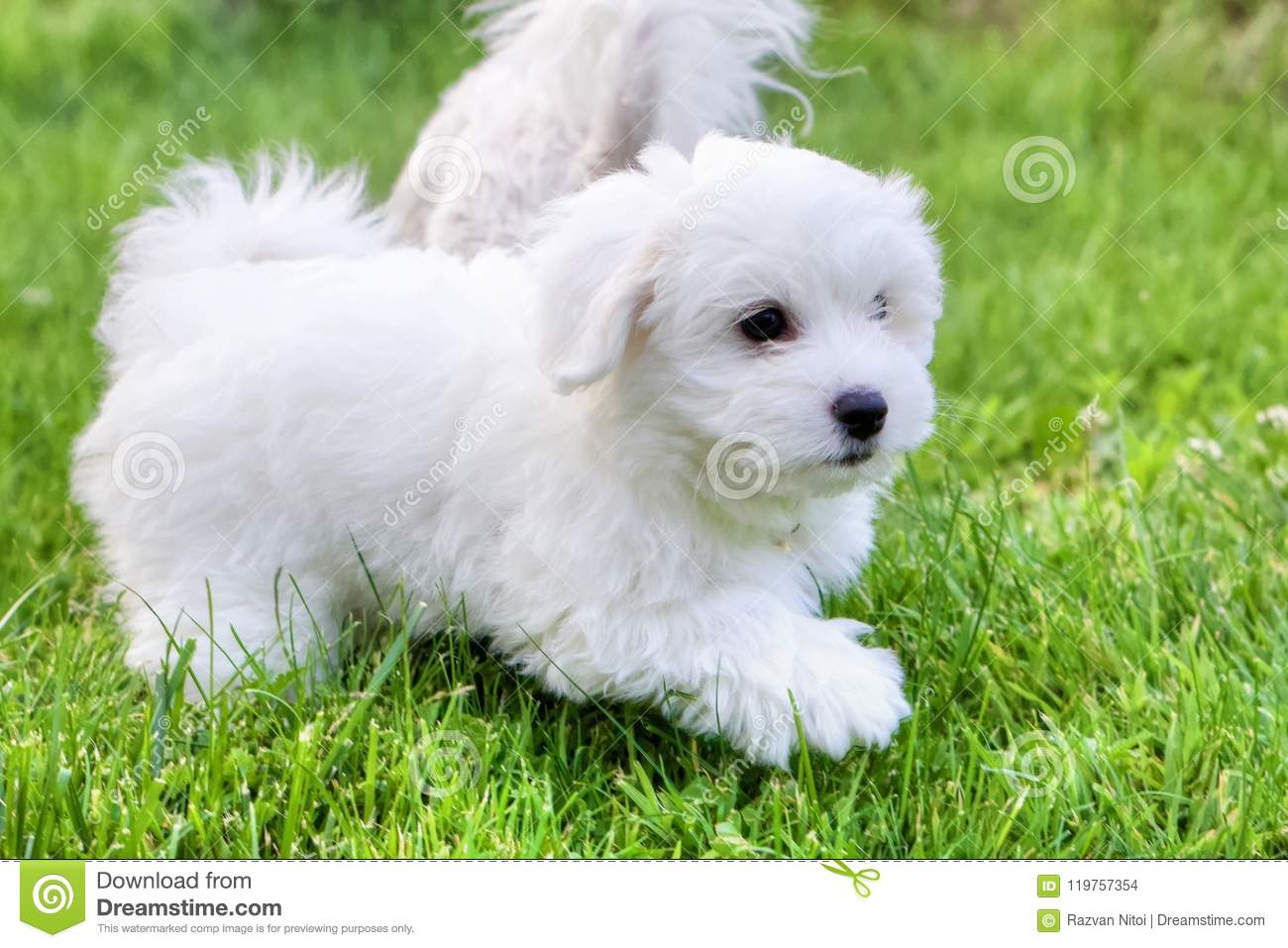 Cute White Bichon Puppies Playing In Grass Stock Photo Image Of