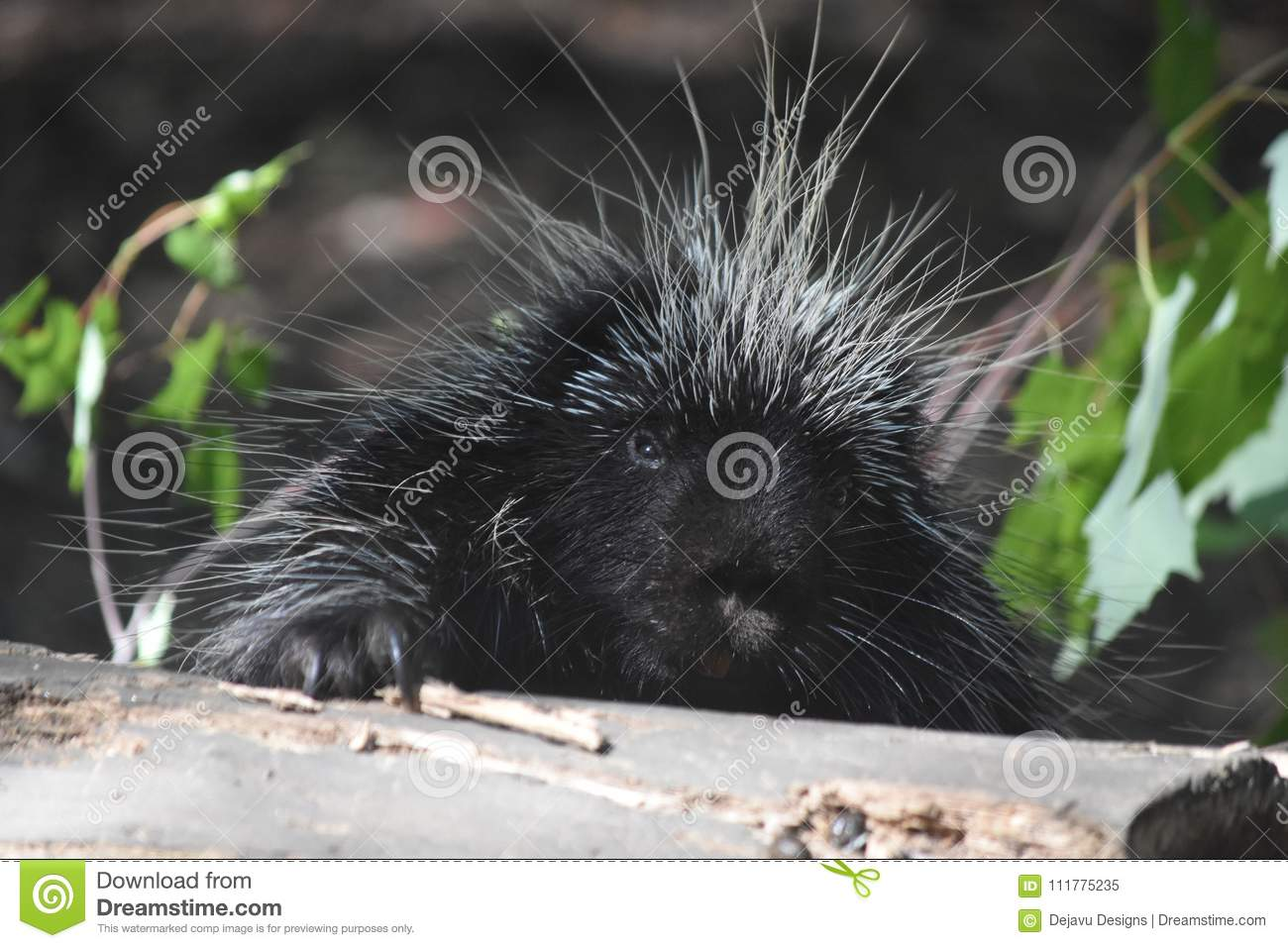 Cute white and black porcupine climbing over a log