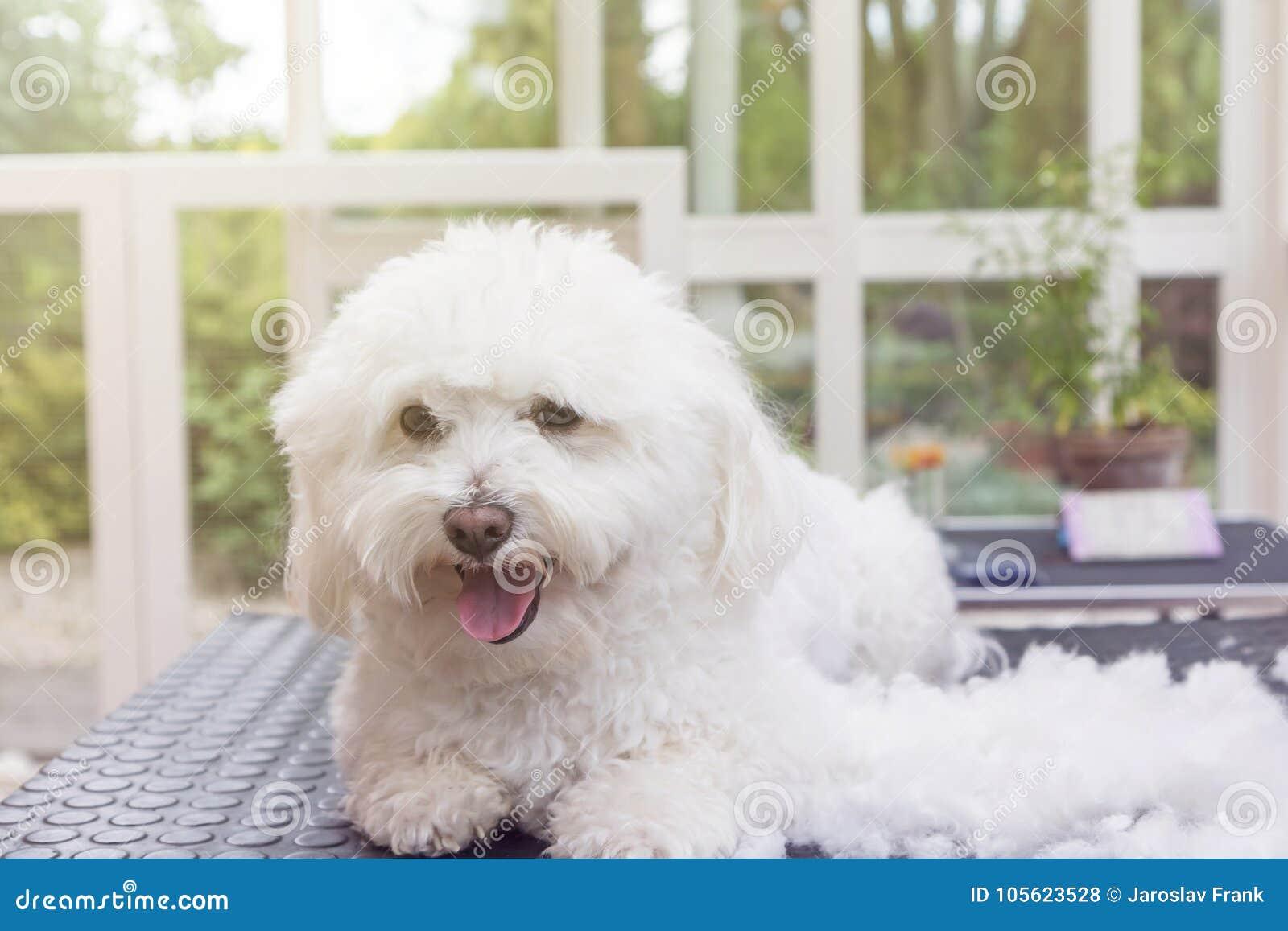 Cute white Bolognese dog is enjoying grooming