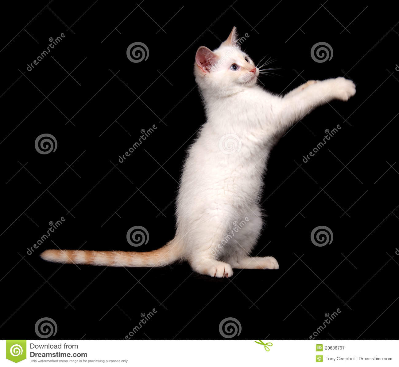cute white cat on black background stock image image of cute baby