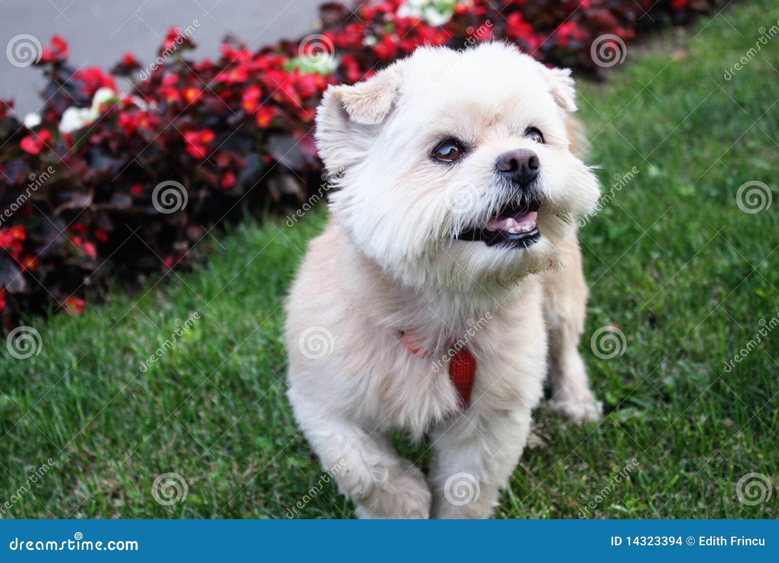 Cute White Dog Stock Images - Image: 14323394