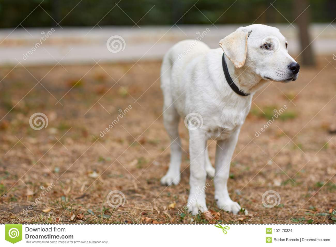 Beautiful white dog having fun in the park pet concept stock photo image of animal outdoor - Dogs for small spaces concept ...