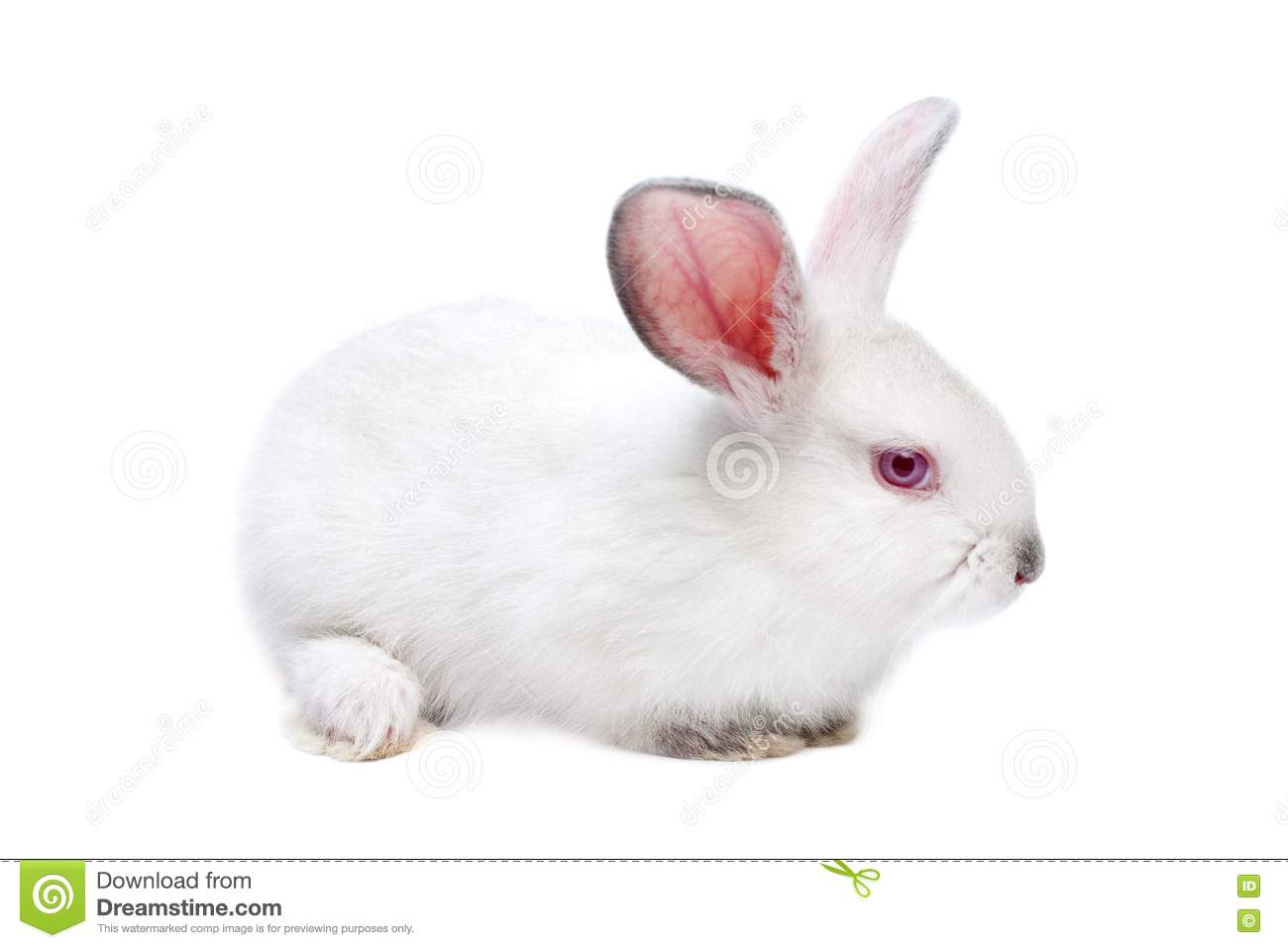 Fluffy White Bunny | Cute animals, Cute baby bunnies, Baby ... |Awesome Baby White Bunnies