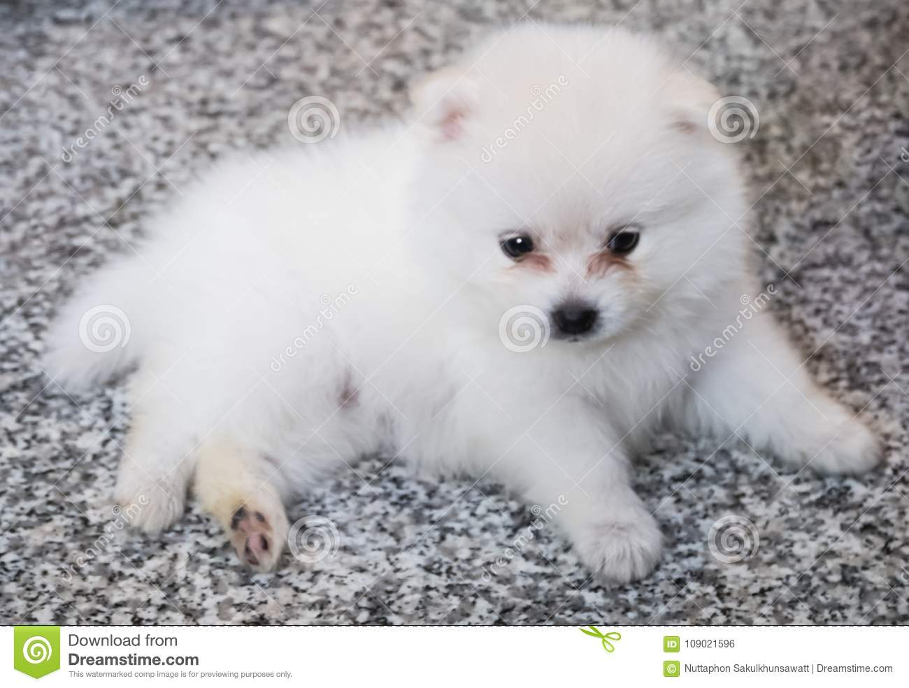 Cute White Pomeranian Puppy On Granite Background Stock Photo Image Of Nature Little 109021596