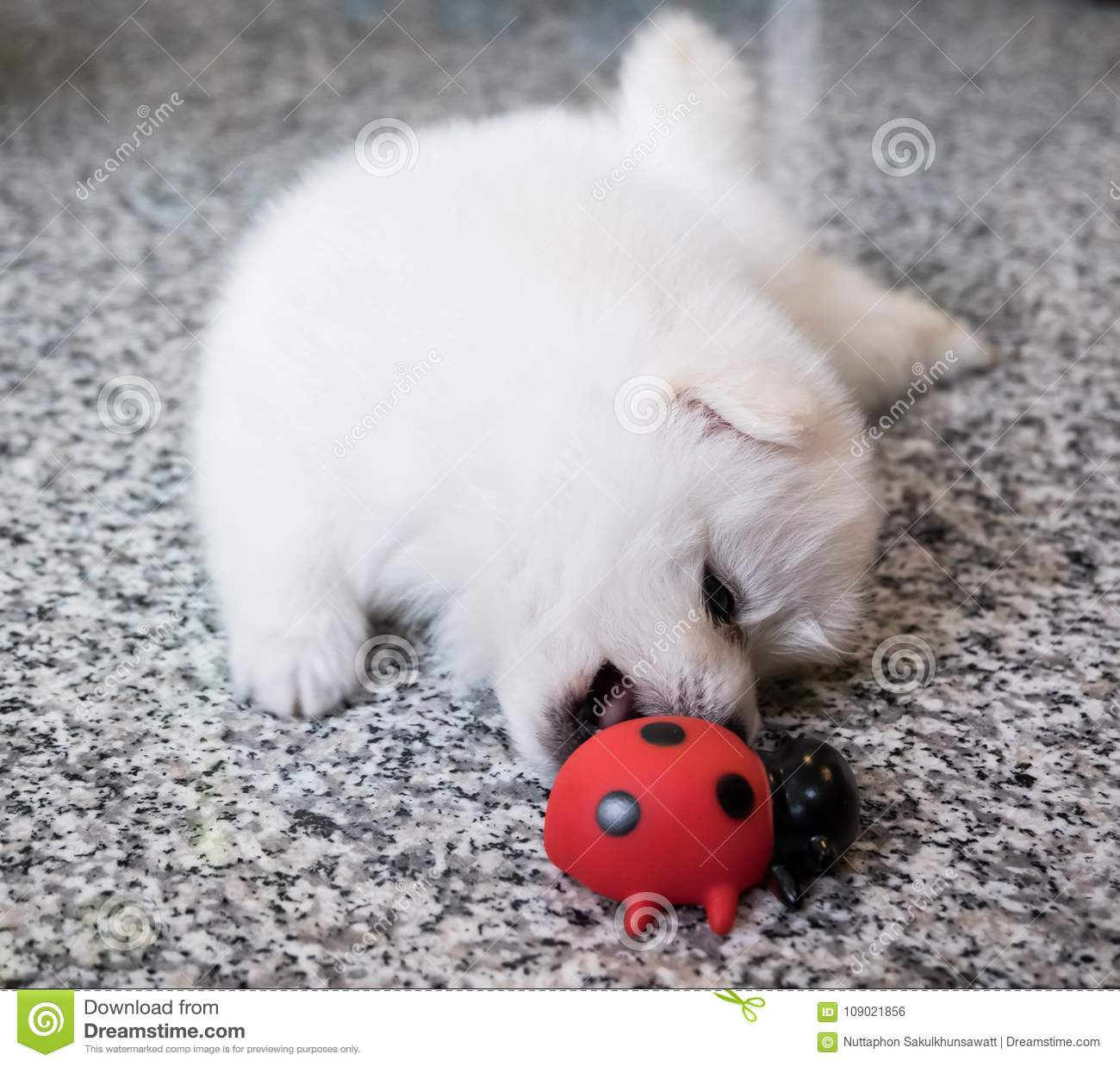 Cute White Pomeranian Puppy On Granite Background Stock Photo