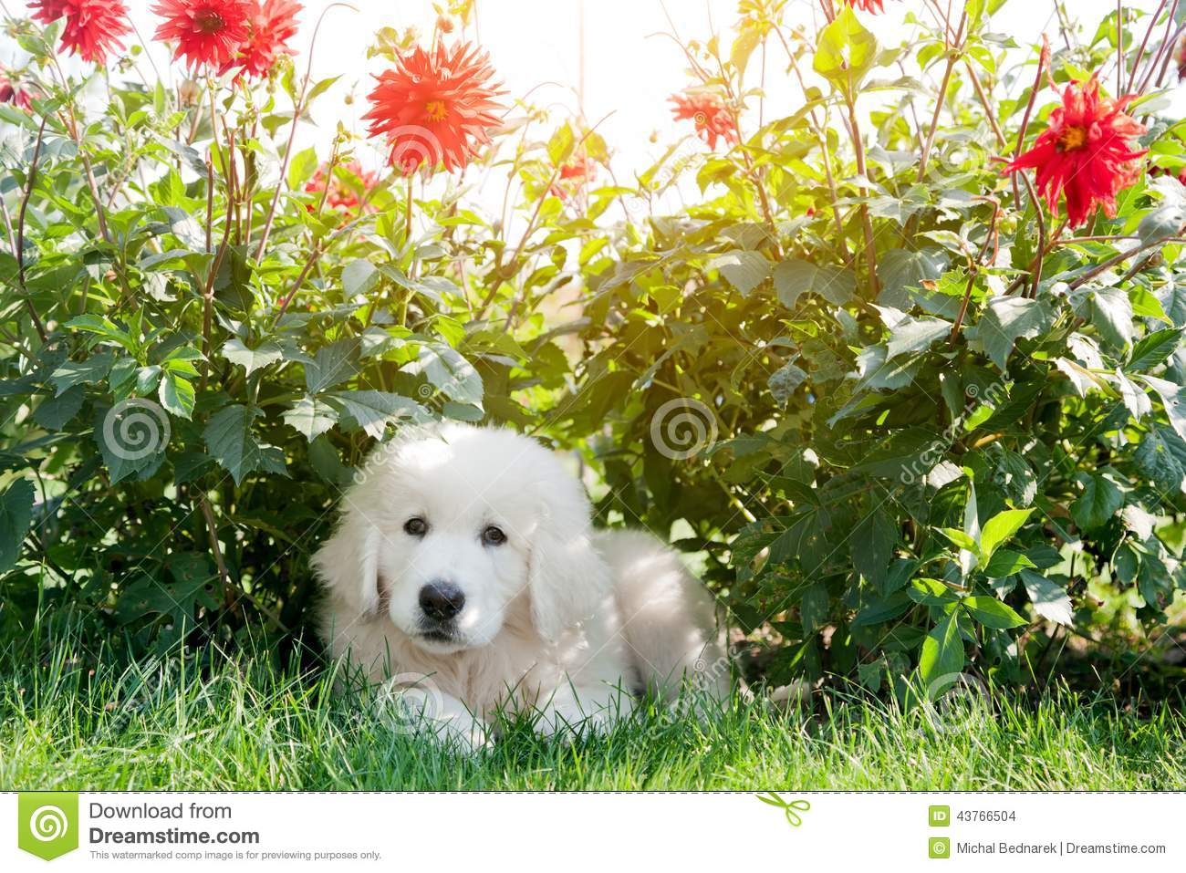 Cute White Puppy Dog Lying Grass In Flowers Stock Image
