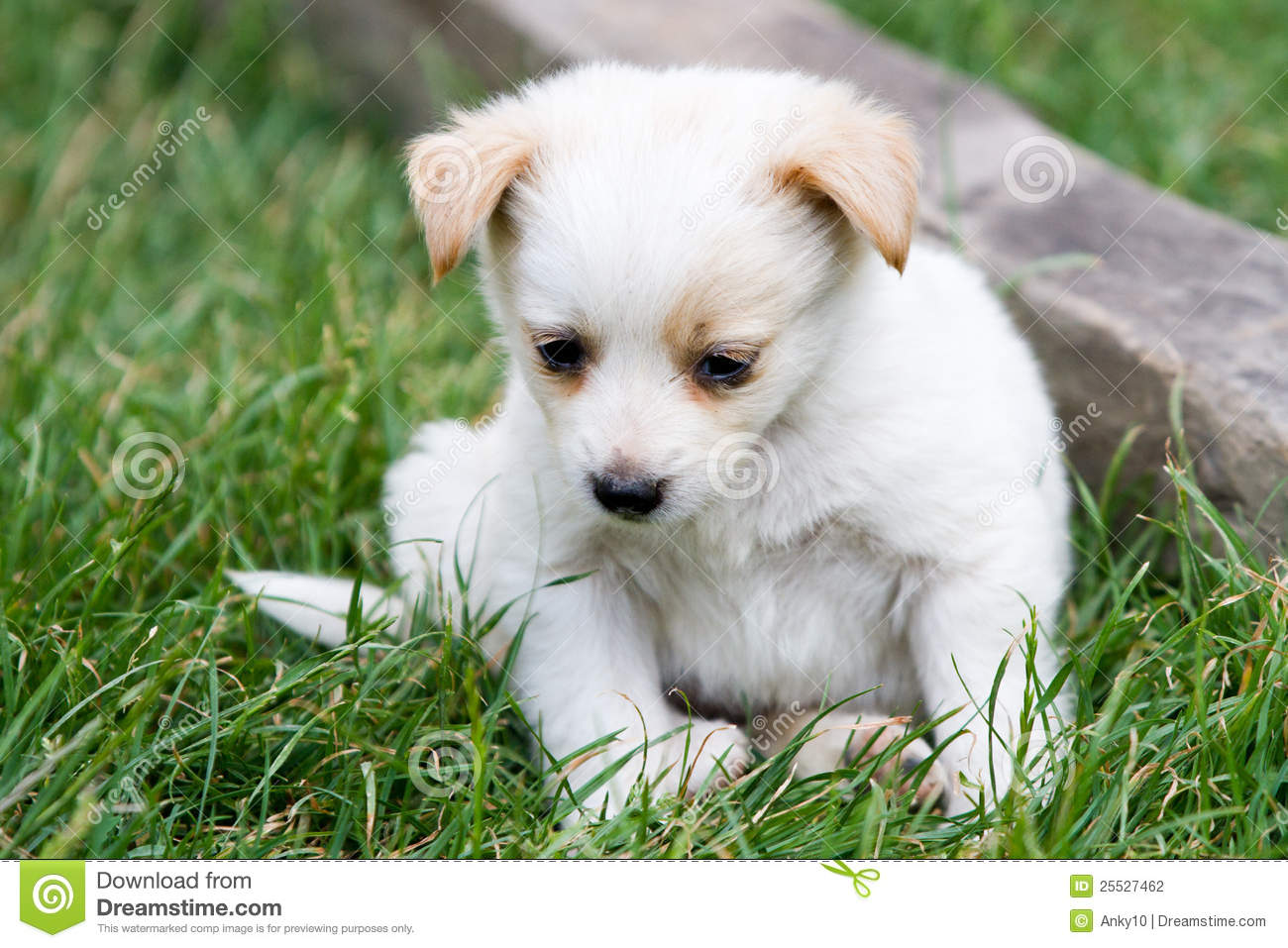 Cute White Puppy In The Grass Stock Image