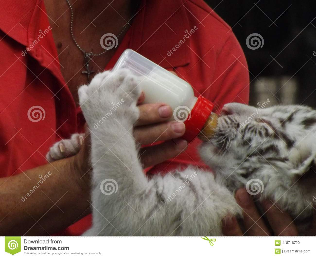 Cute White Tiger feeding