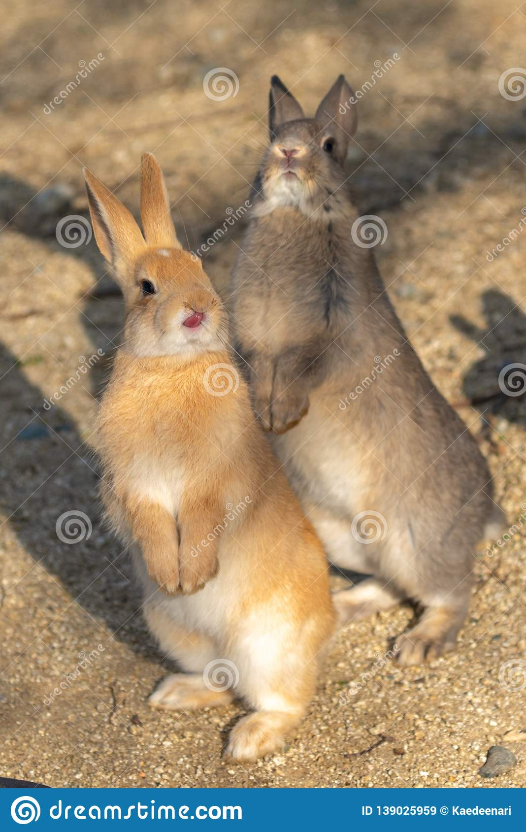 Cute Wild Rabbits On Okunoshima Island In Sunny Weaher Stock Image