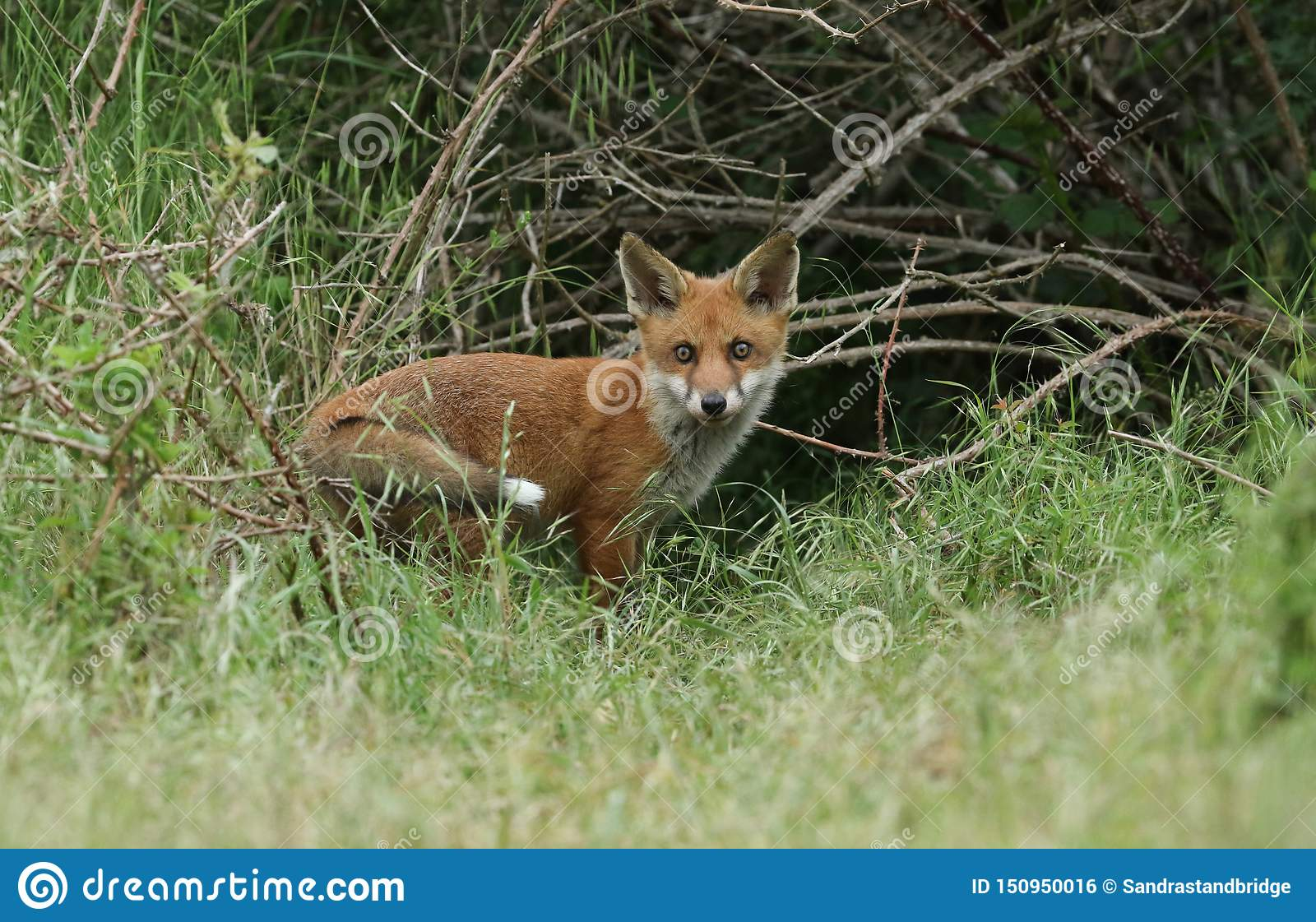 A cute wild Red Fox cub, Vulpes vulpes, standing at the entrance to the Den.