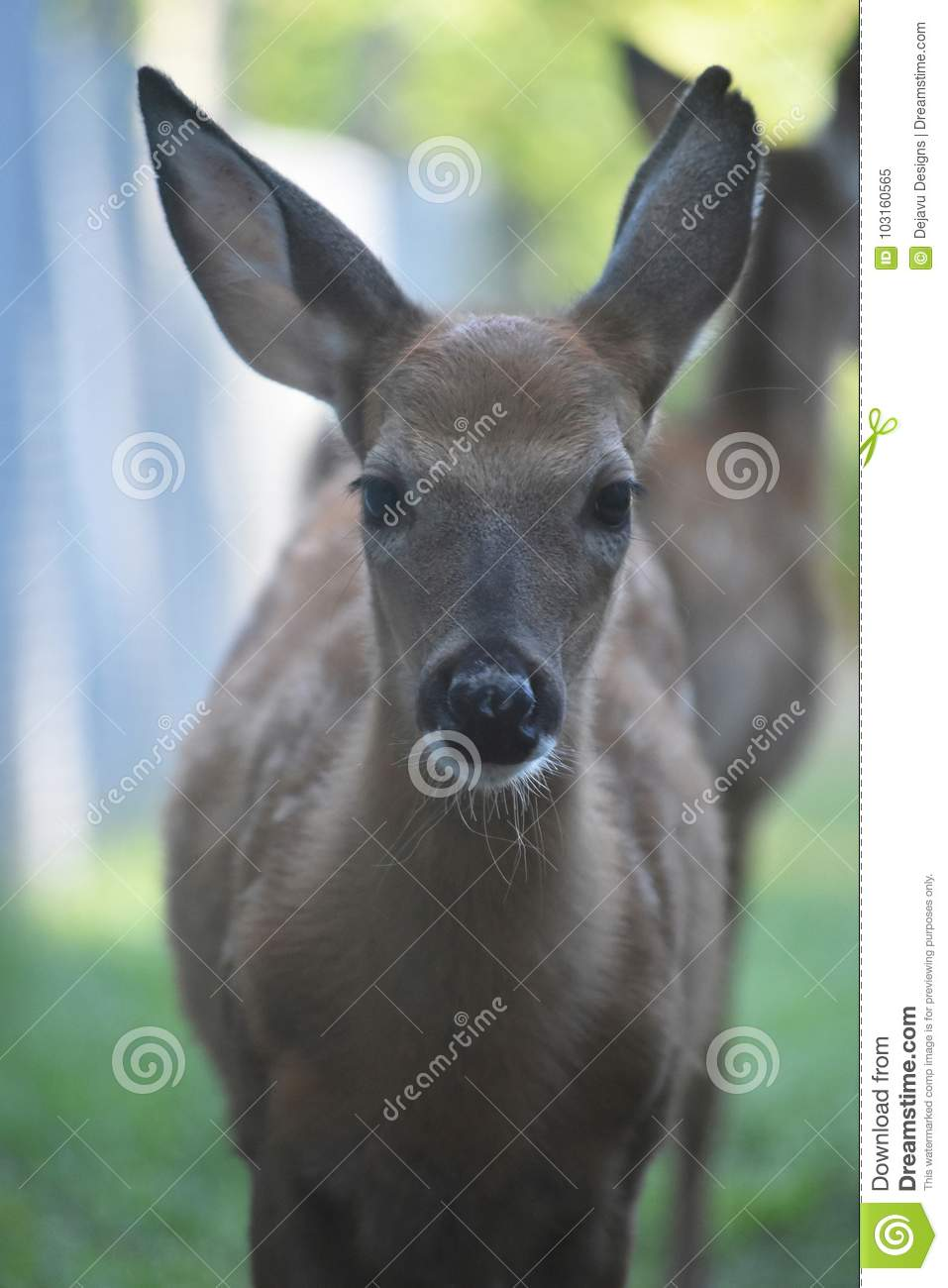 Cute white tailed deer looking at the camera