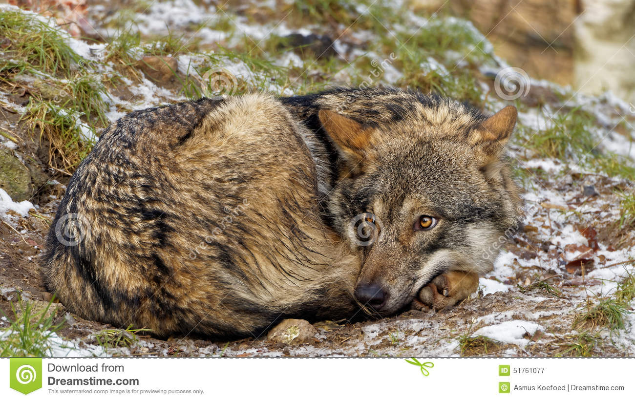 Cute looking curled up female Scandinavian gray wolf with winter coat ...