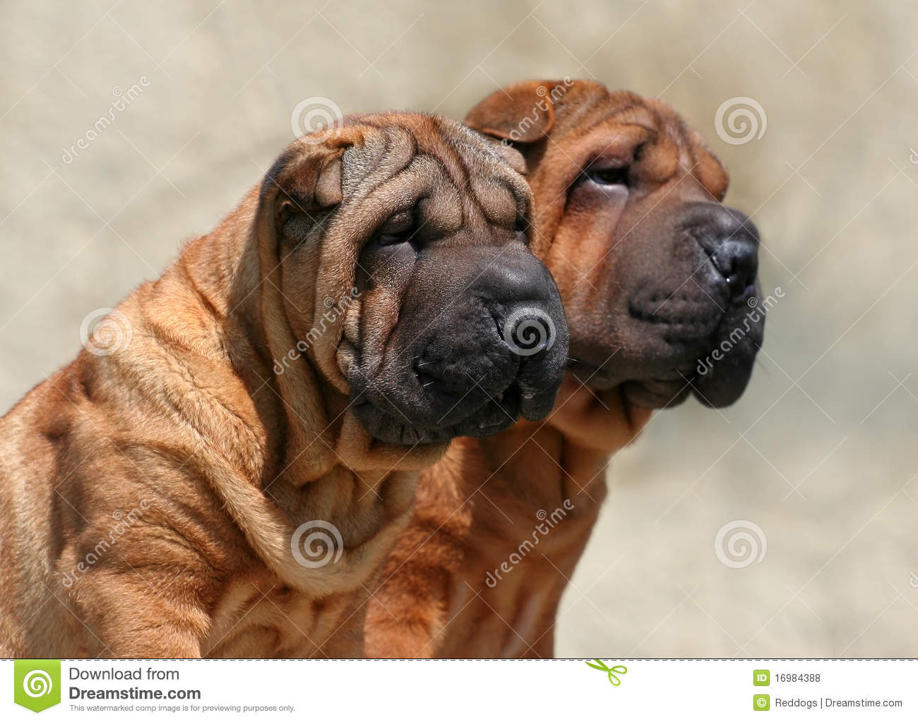 Wrinkly puppies cute wrinkled dog puppies