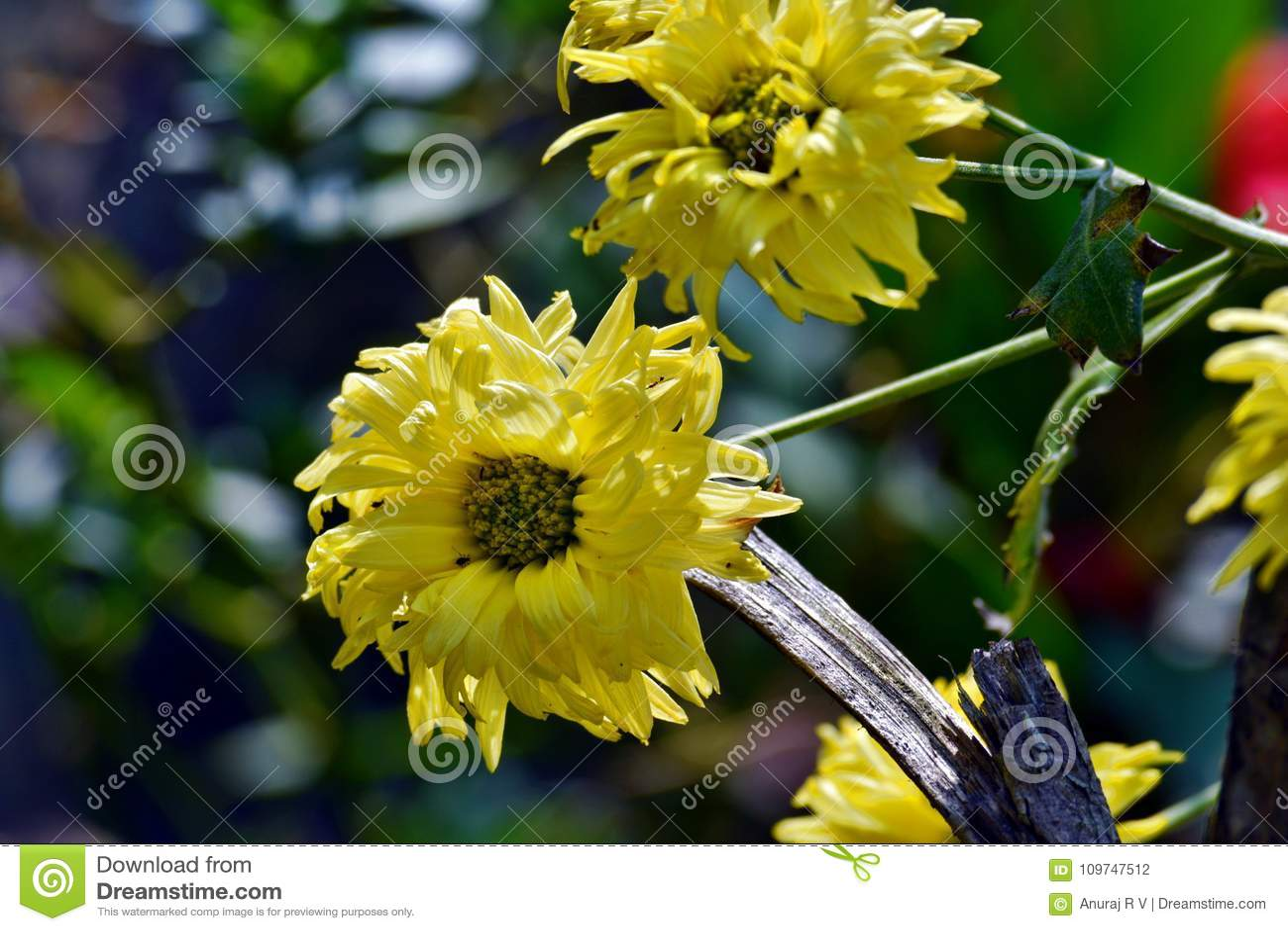Cute Yellow Chrysanthemum Flowers In The Garden Stock Photo Image