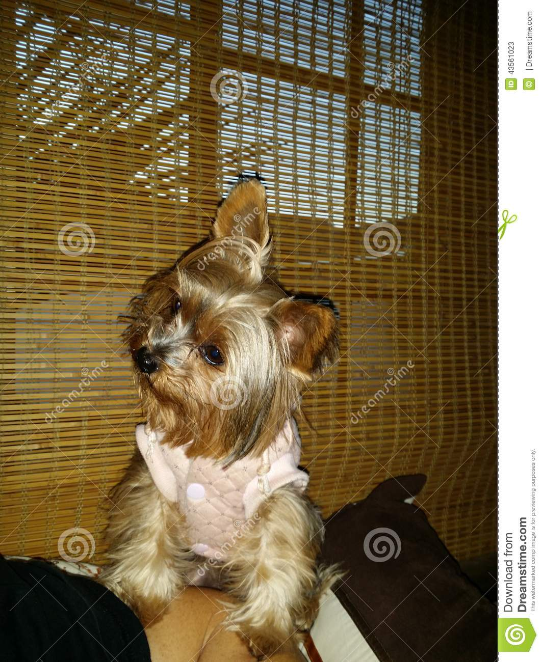 Cute Yorkie Begging