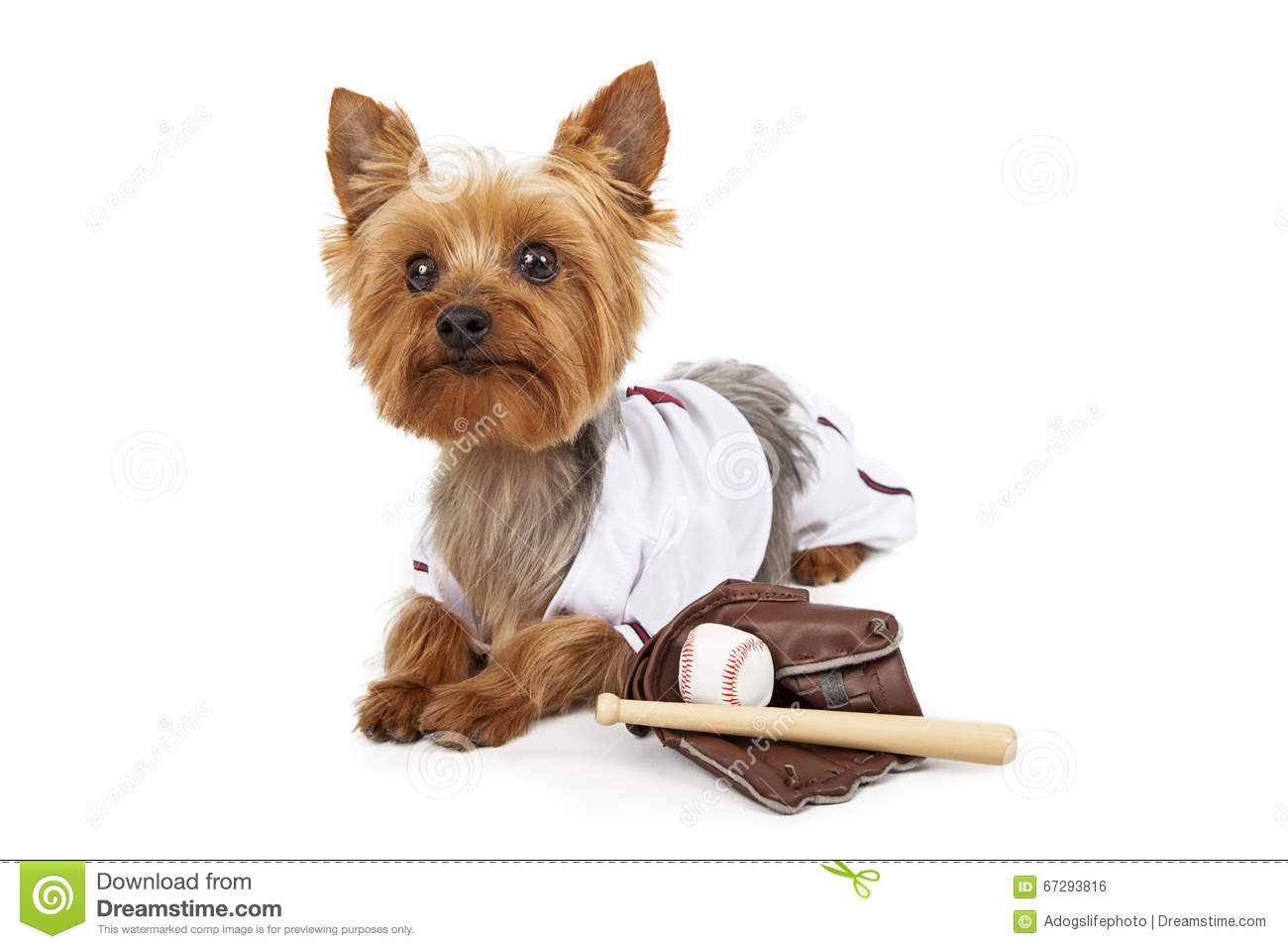 Cute Yorkie Dog In Baseball Uniform Stock Photo Image