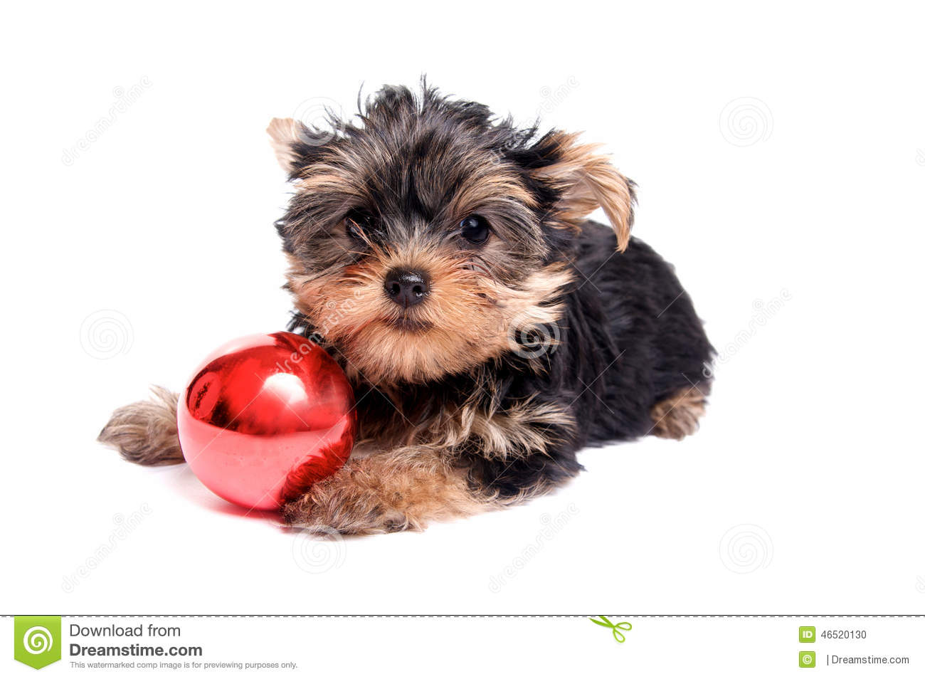 Cute Yorkie Puppy With Christmas Ornament Stock Photo Image Of Animal Seasonal 46520130
