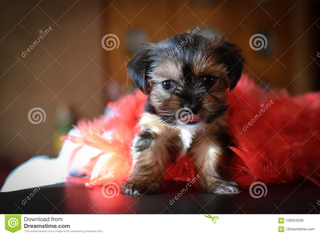 Cute Yorkie Shih Tzu Puppy With Red Boa Stock Image Image Of Tongue Great 108354259