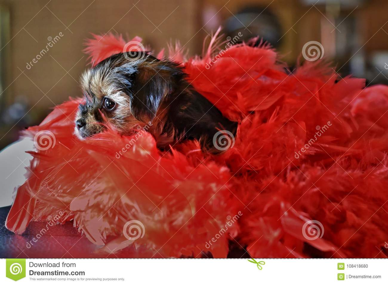 Cute Yorkie Shih Tzu Puppy With Red Boa Stock Photo Image Of Sticking Sitting 108418680