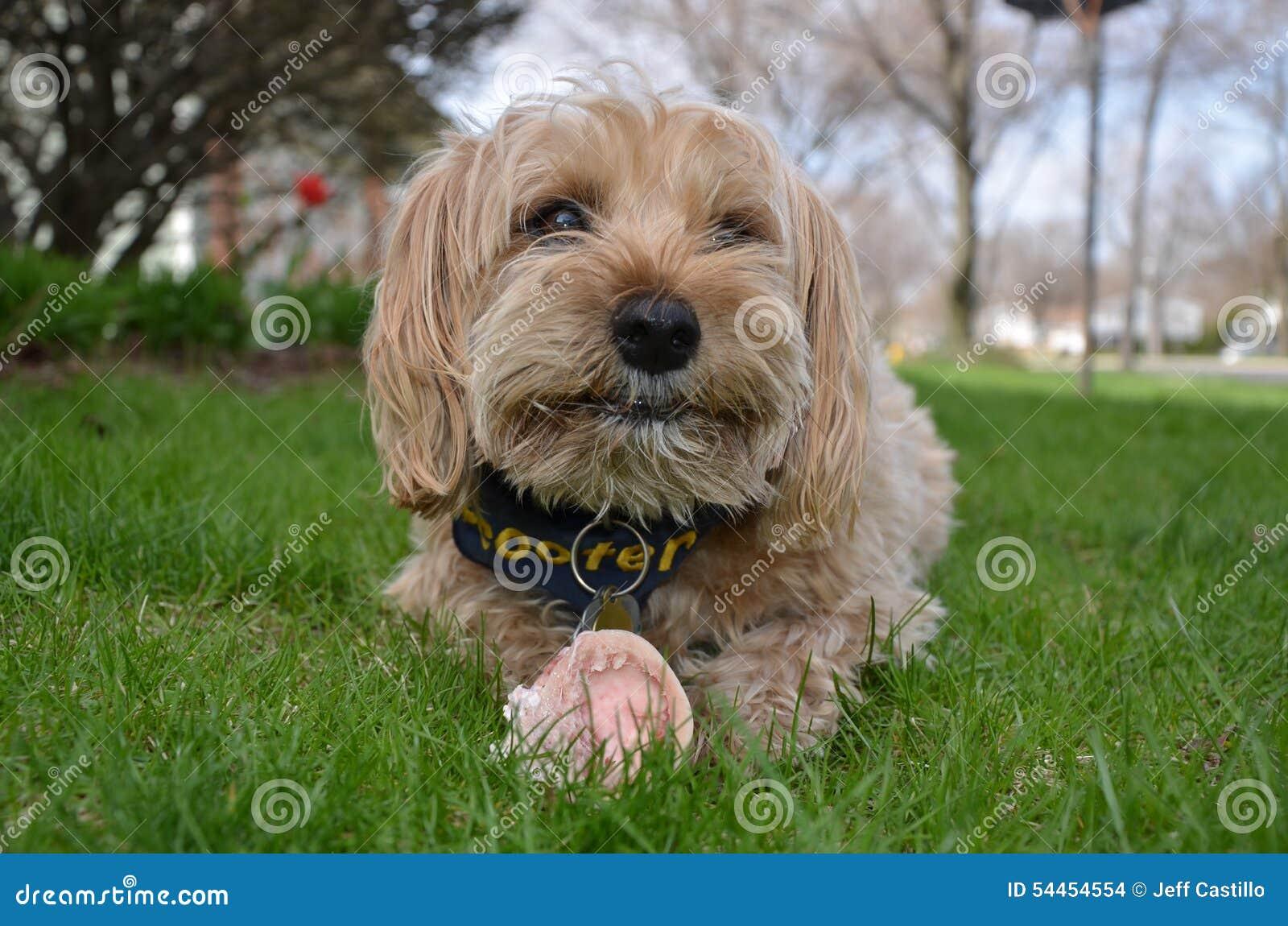 Cute Yorkipoo with bone in grass