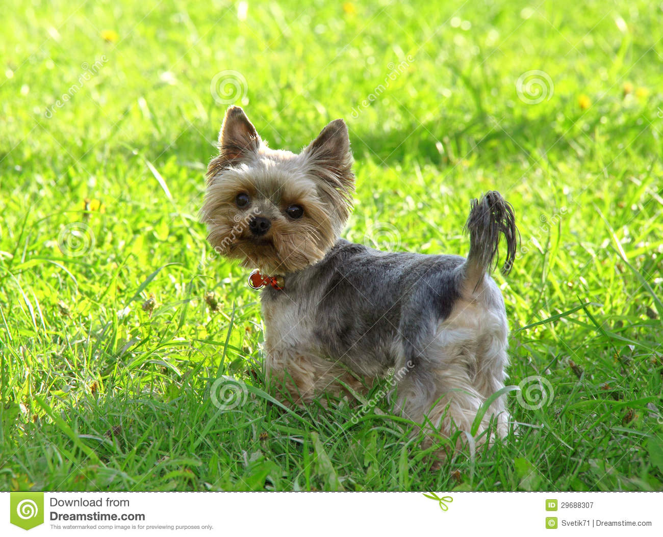 Cute Yorkshire Terrier Dog Playing In The Yard Royalty